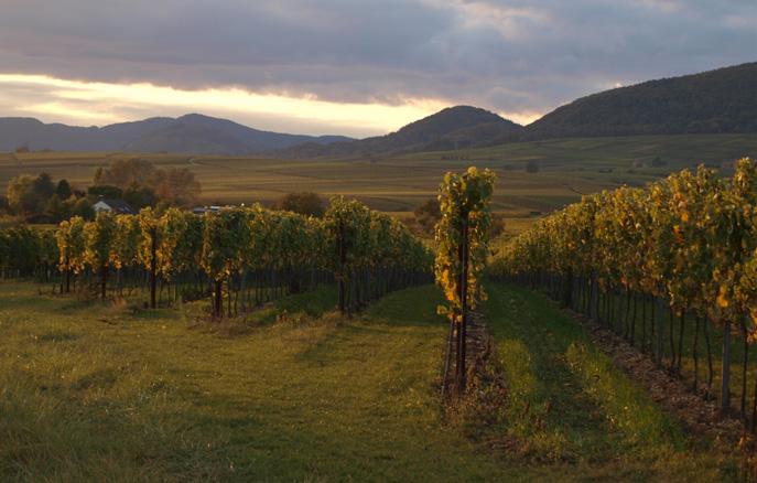Weinbau in der Südpfalz
